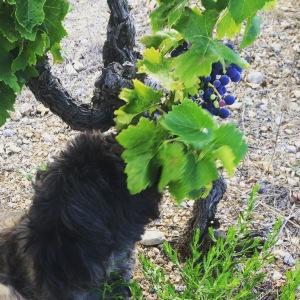 Modne druer 2015